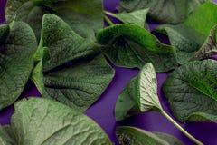 Las hojas creativas de la naturaleza presentan El concepto natural estupendo, ultravioleta colorea el fondo, estilo de la moda Foto de archivo libre de regalías