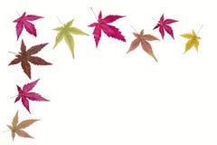 Las hojas de arce Foto de archivo