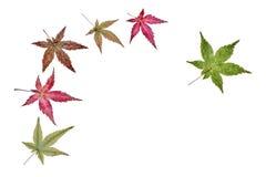 Las hojas de arce Imagen de archivo libre de regalías