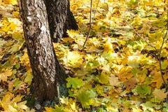 Las hojas de arce amarillas acercan a troncos del abedul en otoño Imagenes de archivo