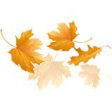 Las hojas de arce amarillas del otoño que caen vuelan en el viento Imagen de archivo libre de regalías