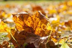 Las hojas de arce caidas Fotos de archivo