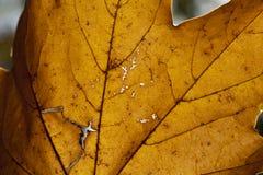 Las hojas de arce caidas Fotografía de archivo
