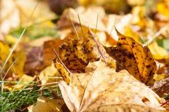 Las hojas de arce caidas Imagen de archivo