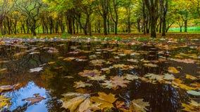 Las hojas de arce caidas en un charco en otoño parquean Imagenes de archivo