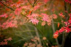 Las hojas de arce del otoño Fotos de archivo libres de regalías