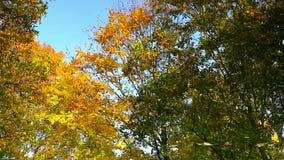 Las hojas de arce del otoño en el agua almacen de video