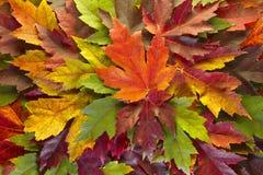 Las hojas de arce mezcladas caída colorean el fondo imagenes de archivo