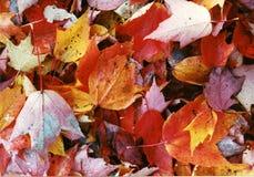 Las hojas de arce mezcladas caída colorean mojado Foto de archivo libre de regalías
