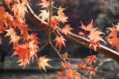 Las hojas de arce que admití otoño fotos de archivo libres de regalías