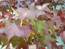 Las hojas de arce rojas fotos de archivo