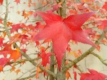 Las hojas de arce rojas imágenes de archivo libres de regalías