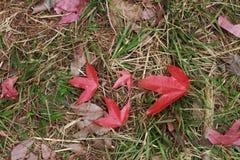 Las hojas de arce rojas caen en piso de la hierba alrededor de área Imagen de archivo libre de regalías
