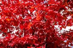 Las hojas de arce rojas en el otoño estacional, árbol de arce rojo del otoño se van en jardín Foto de archivo