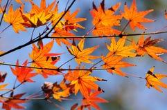 Las hojas de arce se cierran Fotografía de archivo libre de regalías