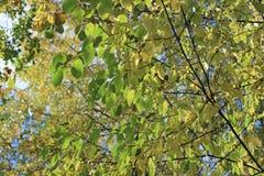 Las hojas de color verde amarillo en abedul ramifican luz del sol del otoño Imagen de archivo