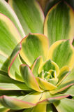 Las hojas de Echeveria variaron 1 Fotos de archivo libres de regalías