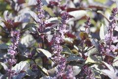 Las hojas de la albahaca roja crecen en el jardín, la especia excelente y el condimento a los diversos platos, y se utilizan en c fotos de archivo libres de regalías
