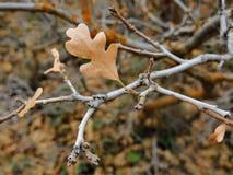 Las hojas de la caída de Autumn Maple y del roble se cierran para arriba en el bosque en Rose Canyon Yellow Fork Trail en las mon Imágenes de archivo libres de regalías