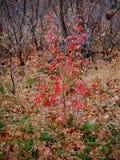 Las hojas de la caída de Autumn Maple y del roble se cierran para arriba en el bosque en Rose Canyon Yellow Fork Trail en las mon Foto de archivo libre de regalías