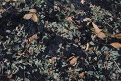 Las hojas de la ceniza después del fuego Foto de archivo libre de regalías