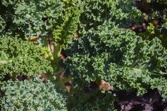 Las hojas de la col ornamental son verdes y amarillas con un borde acanalado Fotos de archivo libres de regalías