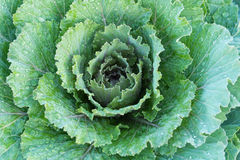 Las hojas de la coliflor son Fotos de archivo