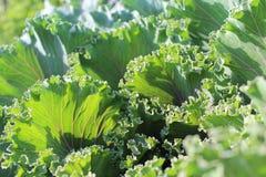Las hojas de la ensalada verde cierran la visión Imagenes de archivo