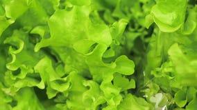 Las hojas de la ensalada verde se cierran para arriba almacen de metraje de vídeo