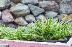 Las hojas de la flor en potes con la pared de piedra Imagen de archivo libre de regalías