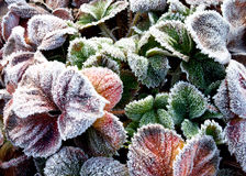 Las hojas de la fresa cubiertas con la helada Foto de archivo libre de regalías