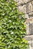 Las hojas de la hiedra cubren una pared Fotos de archivo