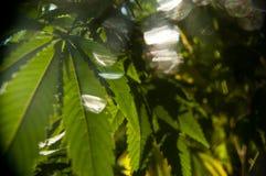 Las hojas de la marijuana se deslumbran en el brillo eterno del sol imágenes de archivo libres de regalías