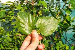 Las hojas de la mora dos Foto de archivo libre de regalías