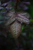 Las hojas de la púrpura Imágenes de archivo libres de regalías