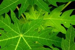 Las hojas de la papaya, verde salen del fondo Foto de archivo