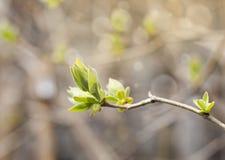 Las hojas de la primera primavera, los brotes y el fondo apacibles de las ramas Imágenes de archivo libres de regalías
