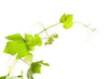 Las hojas de la uva imágenes de archivo libres de regalías