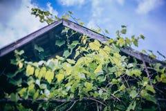 Las hojas de la uva Fotografía de archivo