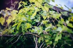 Las hojas de la uva Fotografía de archivo libre de regalías