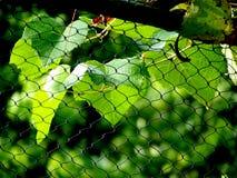 Las hojas de la uva Imagenes de archivo