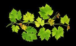 Las hojas de la vid de uva aislaron el fondo negro Fotografía de archivo