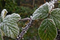 Las hojas de la zarza en invierno aguantan la madrugada Frost imagen de archivo