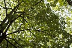 Las hojas de los árboles y del cielo arriba Imagen de archivo