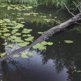 Las hojas de los lirios de agua Imagen de archivo libre de regalías