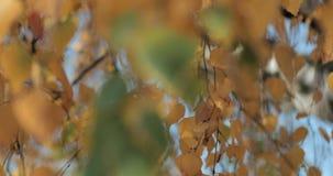 Las hojas de oro agitan en el viento en un bosque otoñal almacen de video