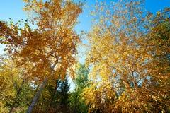 Las hojas de oro del abedul de plata Imagen de archivo