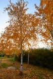 Las hojas de oro del abedul de plata Fotografía de archivo