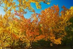 Las hojas de oro del otoño Fotografía de archivo
