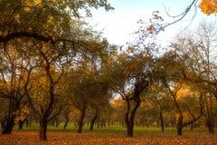 Las hojas de oro en la rama, madera del otoño con el sol irradian fotos de archivo libres de regalías